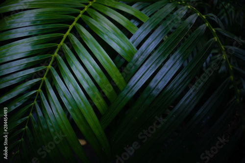 Palmier Dew and Green leaves background. Green leaves color dark tone after raining in the morning.Tropical Plant,environment,fresh,photo concept nature and plant.