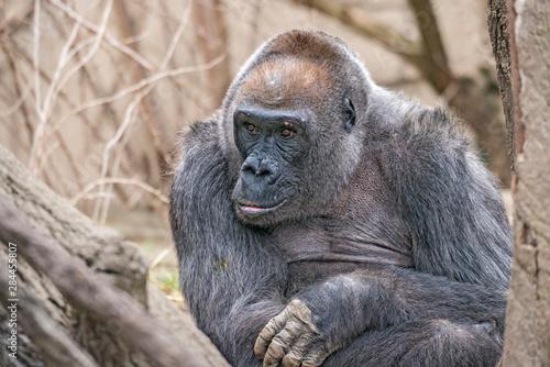 Samantha, 44-year-old western lowland gorilla Fototapeta