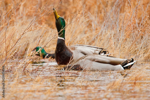 Canvas-taulu Mallard (Anas platyrhynchos) feeding in marsh,