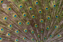 Male Peacock With Fanned Out Tail, Middleton Place Plantation, South Carolina