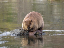 Rogue River, Oregon, USA. Beaver Sitting On A Rock In A Stream.