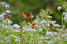 Queen (Danaus Gilippus) Butterflies Nectaring In Mist Flowers, South Texas