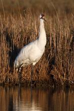 Whooping Crane (Grus Americana...