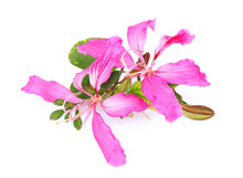 Pink Flower (orchid Tree Or Bu...