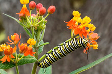 USA, Texas, Hill Country. Close-up Of Monarch Butterfly Caterpillar Crawling On Flower Stalk.