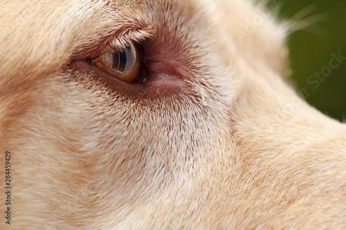 Fotografie, Tablou  USA, Oregon, Keizer, detail of Labrador Retriever's eye (PR)