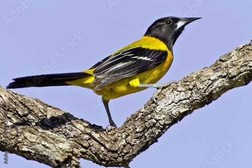 Fototapeta USA, Texas, Santa Clara Ranch. Audubon oriole on limb.