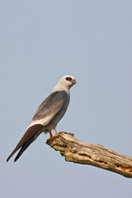 Mississippi Kite (Ictinia Mississippiensis) Adult Perched On Dead Tree