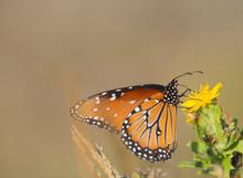 Queen Butterfly Getting Nectar...