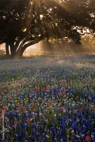 Photo Field of bluebonnets (Lupinus texensis), paintbrush(Castilleja foliolosa) and tr