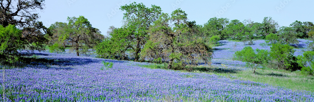 Fototapety, obrazy: USA, Texas, Llano. Texas Bluebonnets, the state flower, fill these rolling oak-covered hills in the Llano area of Texas.