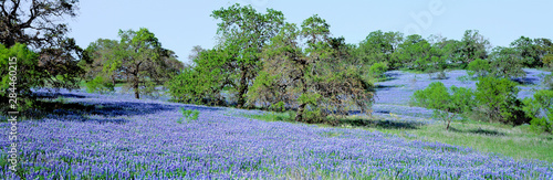 Canvas Prints Texas USA, Texas, Llano. Texas Bluebonnets, the state flower, fill these rolling oak-covered hills in the Llano area of Texas.
