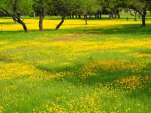 Oak Trees In Field Of Yellow Wildflowers Near Burnet, Texas