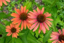 Orange Coneflower, Vermont, USA