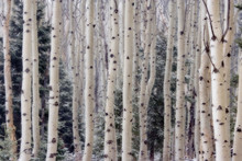 USA, Utah. Aspen Trees In Hell's Backbone Area.