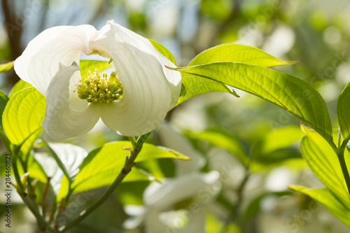 Photo Vienna, Virginia. Curly Dogwood flower with green leaves