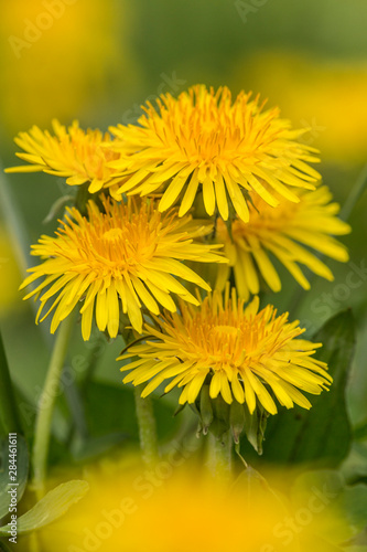 Photo Group of Dandelions, Great Smoky Mountains, National Park, Tennessee