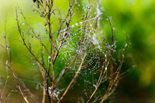 Wet Web With Drops On A Bush