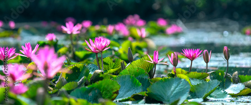 Poster Waterlelies Water lilies bloom in the pond is beautiful. This is a flower that represents the purity, simplicity