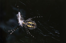 USA, Utah, Close-up Of Black And Yellow Argiope Spider