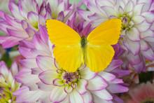 Cloudless Sulphur Butterfly, P...