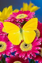 Cloudless Sulphur Butterfly, Phoebis Sennae On Pink Gerber Daisy
