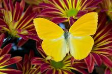Cloudless Sulphur Butterfly, Phoebis Sennae On Mums