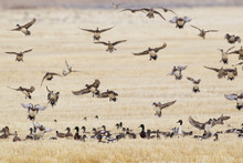 Waterfowl Alighting In Winter Wheat