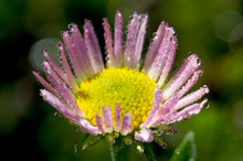Fleabane With Dewdrops. Washin...