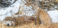 Wyoming, Sublette County, Bobcat In Winter Sitting Next To Mule Deer Carcass.
