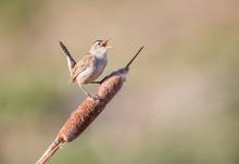 USA, Wyoming, Sublette County, Marsh Wren Singing On Cattail Stalk