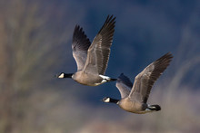 Cackling Canada Geese Flying