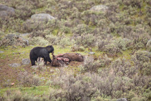 USA, Wyoming, Yellowstone National Park. Black Bear Feeds On Bison Carcass Killed By Wolves.