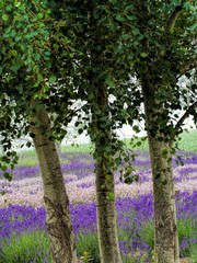 Obraz na SzkleUSA, Washington State, Sequim, Lavender Field, Lavender Field in full boom with Trees