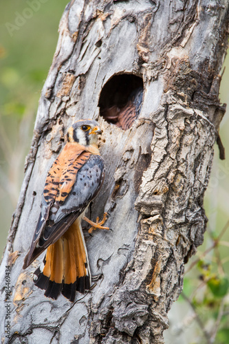 Wyoming, Sublette County, American Kestrel male at nest cavity. Fototapeta