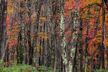 Autumn Color In Hardwood Fores...