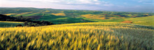USA, Washington State, Colfax. Barley Fields Cover Much Of The Rolling Hills Of The Palouse Region Of Eastern Washington State.