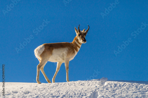 Antilope USA, Wyoming, Paradise Valley. Pronghorn antelope standing on hill. Credit as: Cathy & Gordon Illg / Jaynes Gallery / DanitaDelimont.com