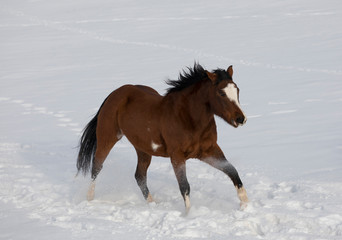 Hideout Ranch, Shell, Wyoming. Horse running through the snow. (PR)