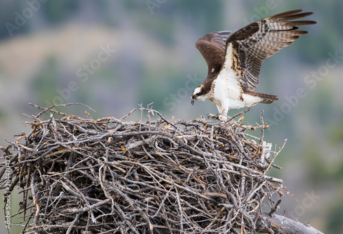 Photo USA, Wyoming, Sublette County, an Osprey stretches it's wings while standing on the edge of it's stick nest