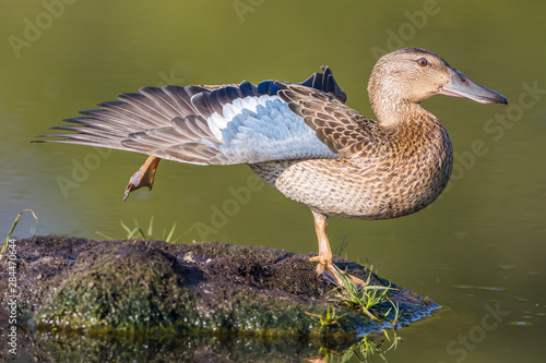 Photo USA, Wyoming, Sublette County, Pinedale, female Cinnamon Teal stretches it's wing on a small island in a pond