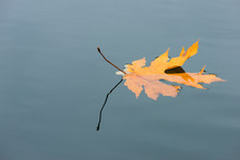 US, Washington State, Floating Leaf Partially Submerged And Reflection