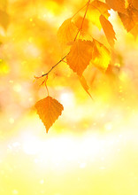Beautiful Autumn Yellow Birch Leaves. Autumn Landscape Background. Fall Abstract Background With Golden Birch. Autumnal Naturebackdrop For Design. Close Up. Shallow Depth