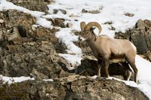 USA, WY, Yellowstone NP, American Bighorn Sheep (Ovis Canadensis)