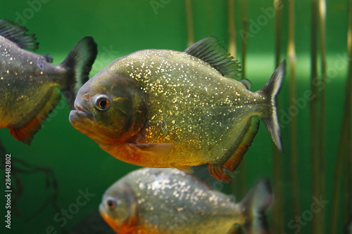 Vászonkép Red-bellied piranha (Pygocentrus nattereri), also known as the Red piranha in th
