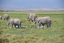 Herd Of African Elephants Cooling Off In Swamp, Amboseli, Kenya