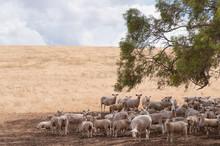 Australian Merino Sheep In The...