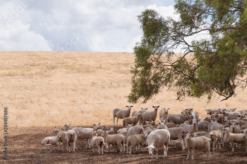 Foto op Canvas Schapen Australian merino sheep in the shade of a tree on farmland paddock