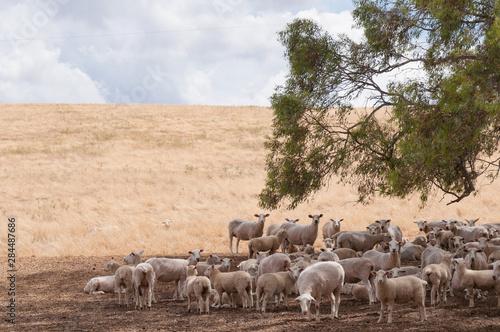 Fotobehang Schapen Australian merino sheep in the shade of a tree on farmland paddock