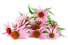Coneflower Or Echinacea Purpurea Isolated On White Background